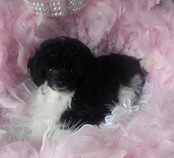 Tux black and white teacup and tiny toy poodles for sale in Texas. 254-434-9449 www.puttinontheritzpoodles.com