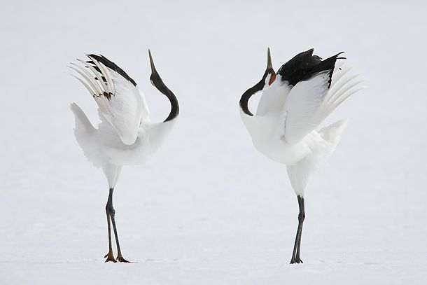 """The birds prance stiff legged around each other, alternately bowing and stretching with their wings half extended. They punctuate the dance by leaping high into the air with their legs dangling loosely beneath them. When excited they pick up small sticks or pieces of grass, toss them exuberantly into the air and then stab them on the way down."""
