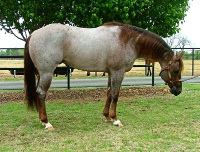 Analysing Reining Horse Conformation