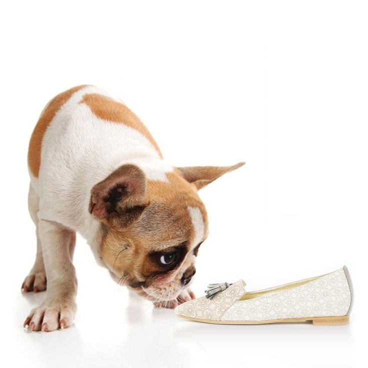 french bulldog curious about a three foot flowers shoe