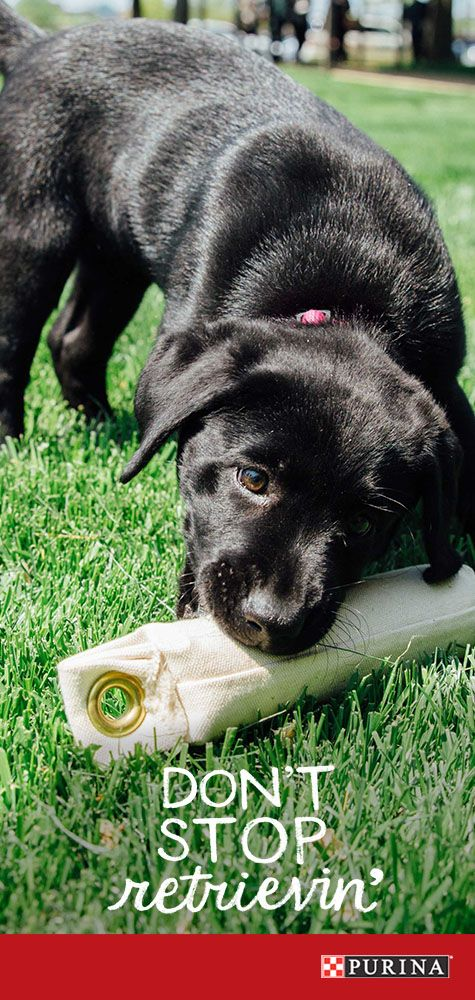 In the market for a family dog? Labrador Retrievers are athletic and playful, making them one of the best family dogs. Learn more at Purina.com.