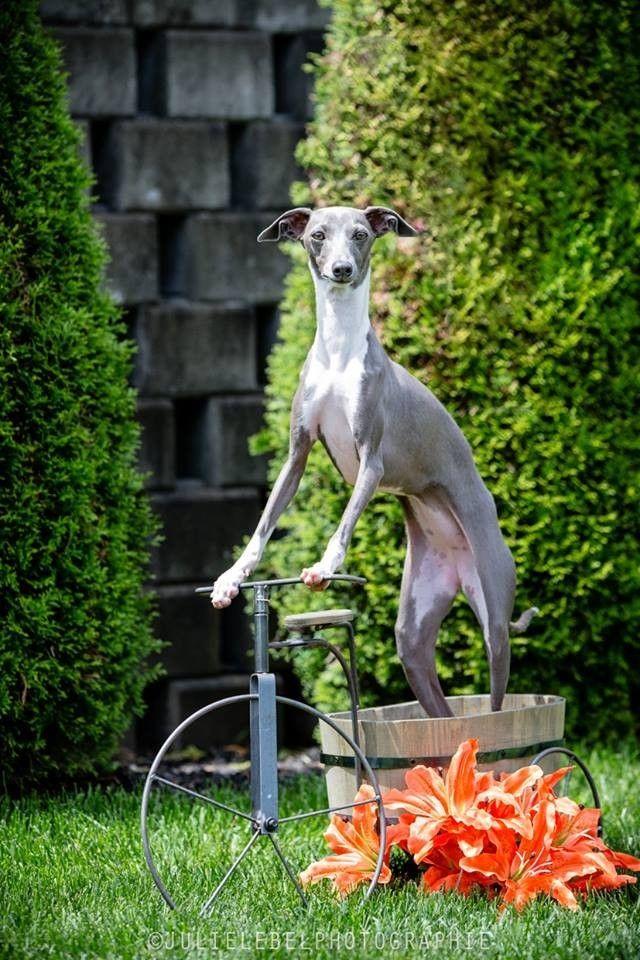 Such an adorable Italian greyhound!!!