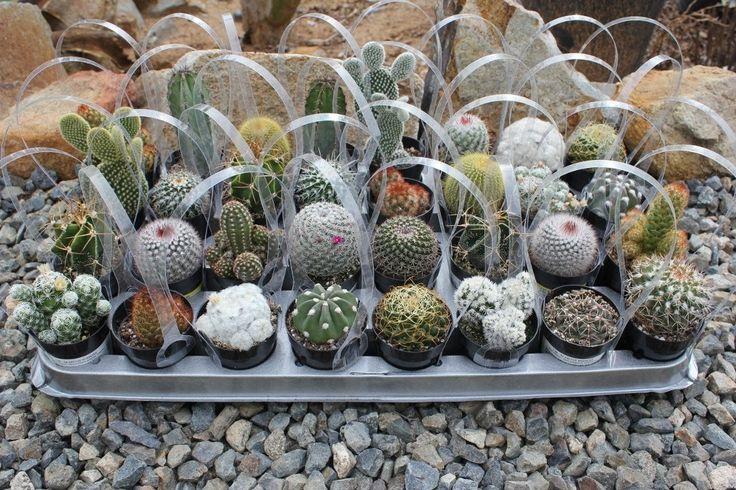"""2.5"""" Assorted Cactus"""