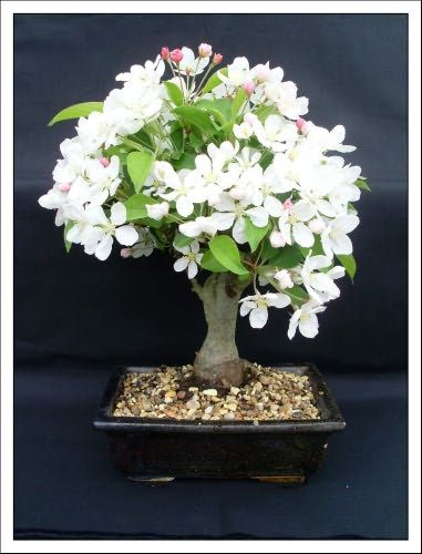 17 best images about bonsai on pinterest different types for Best bonsai tree species