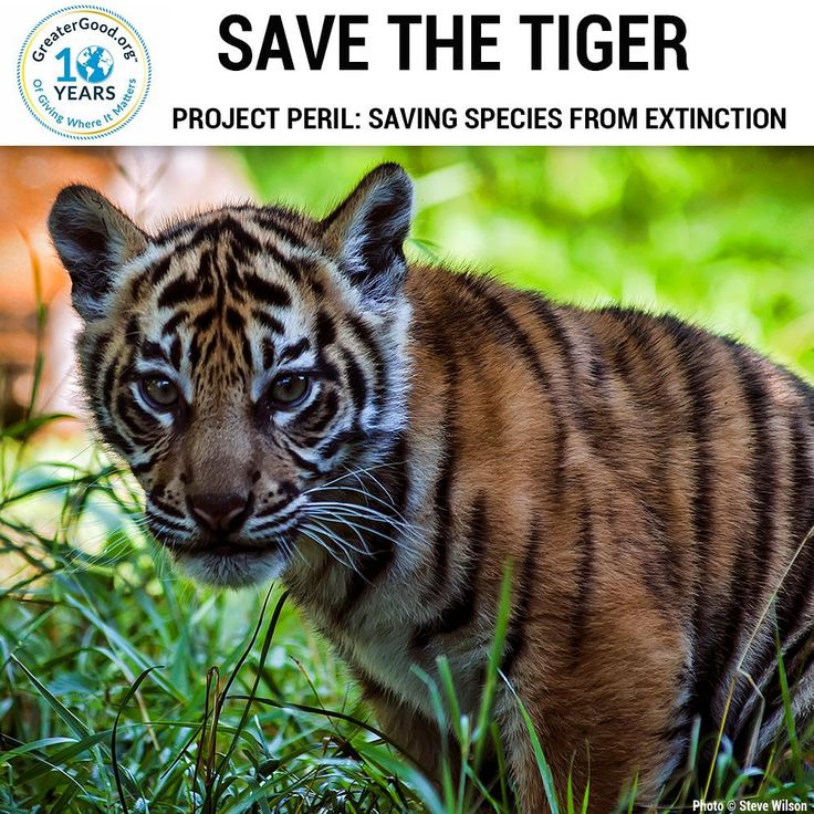 The population of the tiger has declined due to illegal poaching and habitat loss. Donate today to help save the tiger from extinction!