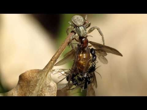 These male ants are copulating with a dead queen while a spider eats it