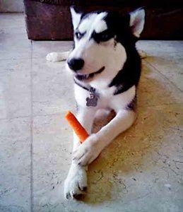 Anjing Husky Makan Wortel