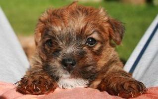 Lucas Terrier pup