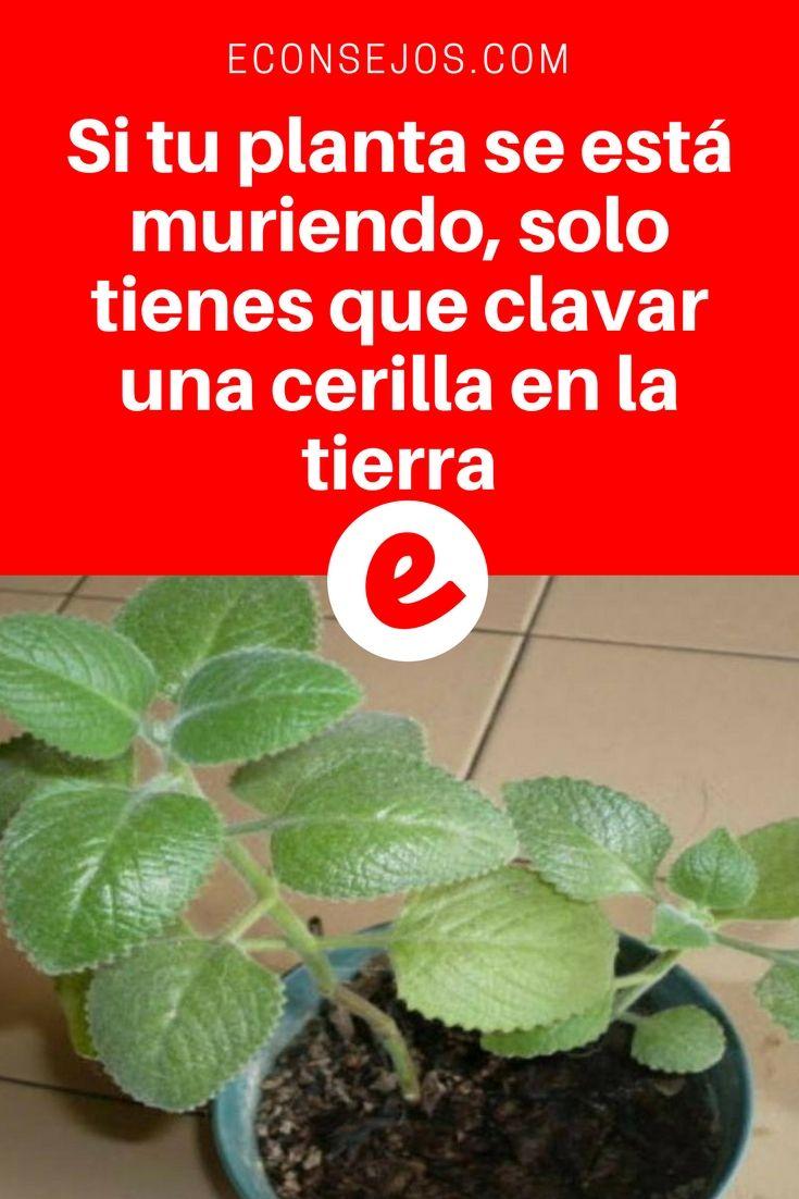 Revivir plantas secas   Si tu planta se está muriendo, solo tienes que clavar una cerilla en la tierra   ¡De verdad funciona!