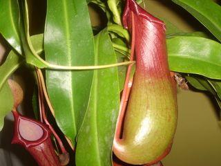 Ficha y cuidados de Nepenthes. Plantas carnívoras España. www.plantascarnivoras.es