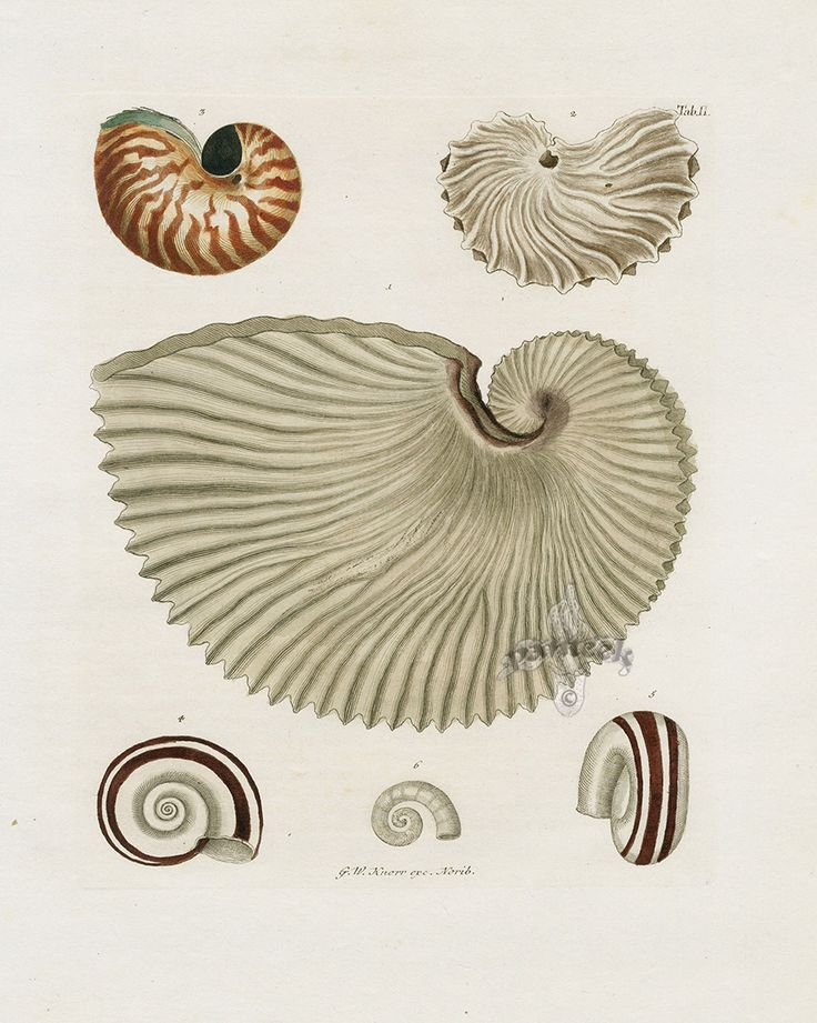 Nautilus from George Wolfgang Knorr Seashell Prints 1757