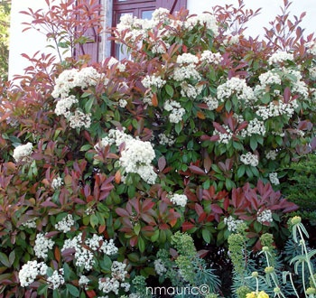 17 best images about on pinterest - Photinia x fraseri red robin ...