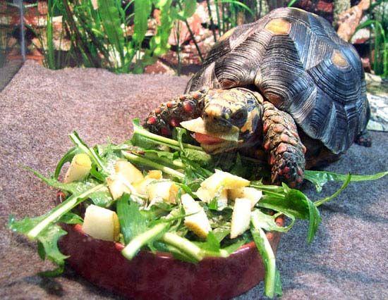 ¿Qué comen las tortugas terrestres?   Infoexóticos