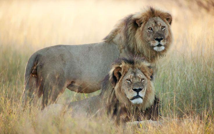 Walter Palmer le dentiste qui a tué Cecil le lion obligé de fermer son cabinet  2Tout2Rien