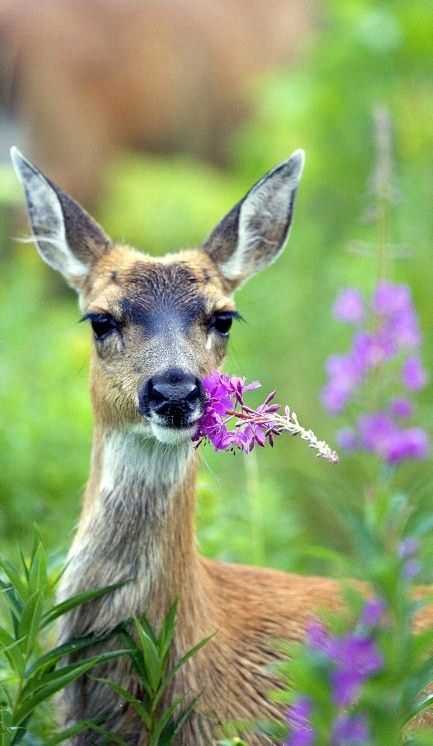 Nature - Sitka deer in Fireweed.