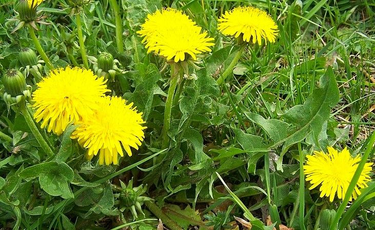 Název: Smetánka Lekářská Latinský náz: Taraxacum Čeleď: Hvězdnicovité Latinsky čel: Asteraceae