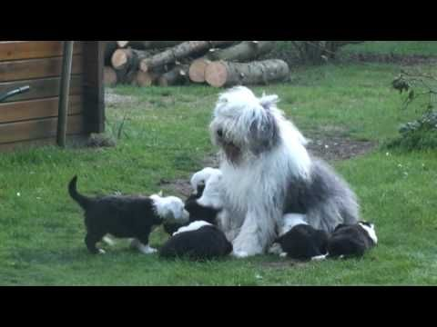 Old English Sheepdog puppies .....dogbehaviour, mother is taken care of ...