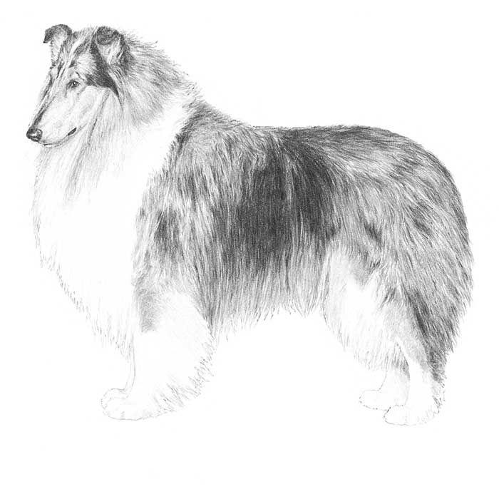 Collie Dog Breed Information - American Kennel Club