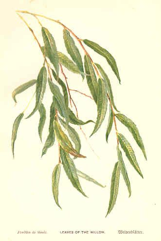 Image result for weeping willow tree leaves