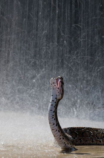 Russell's viper snake, Sri Lanka This Russell's viper snake takes advantage of the rain in Sri Lanka. Picture: Rex.