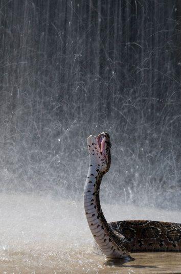 01     02     03     04     05     06     07     08     09     10     11     12     13     14     15     16     17     18     19     20     21     22     23     24     25  MORE... < > Russell's viper snake, Sri Lanka This Russell's viper snake takes advantage of the rain in Sri Lanka. Picture: Rex.  #animals #snakes #rain