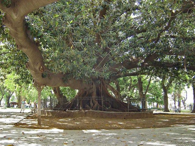 This Ombu tree resides in Plaza St. Martin in Buenos Aires, Argentina.