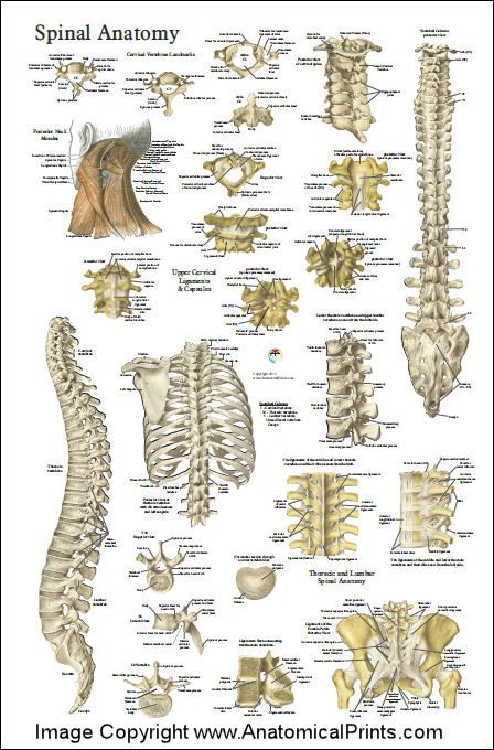 """Spinal anatomy 24"""" X 36"""" poster."""