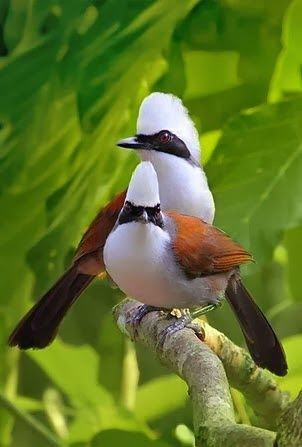 White-crested Laughing Thrush is found in forest and scrub from the Himalayan foothills to Indochina.