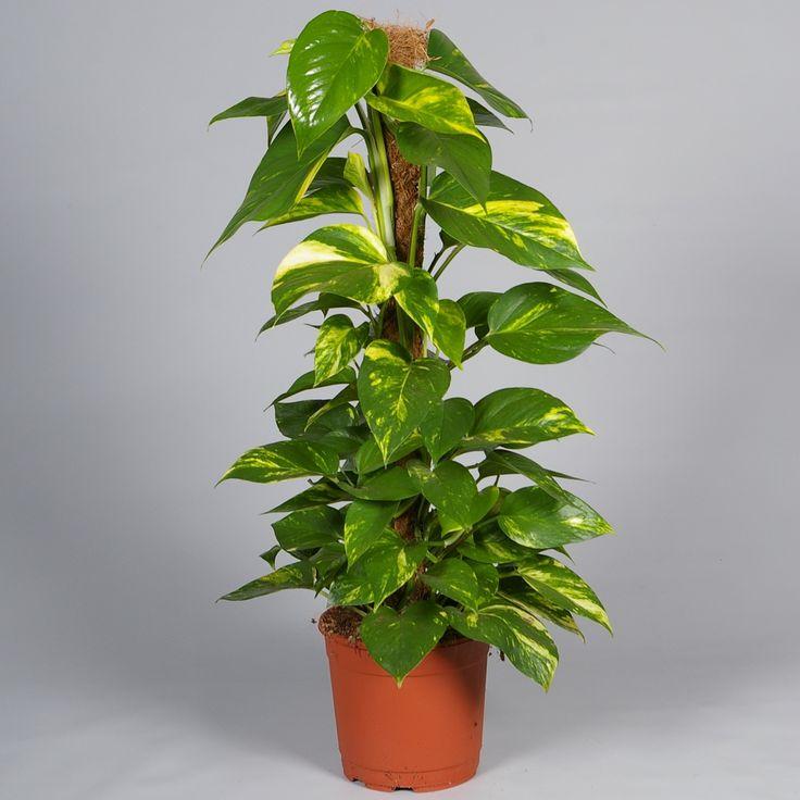 Die besten 25 epipremnum pinnatum ideen auf pinterest s wasseraquarienpflanzen vivarium und - Zimmerpflanzen dunkel ...