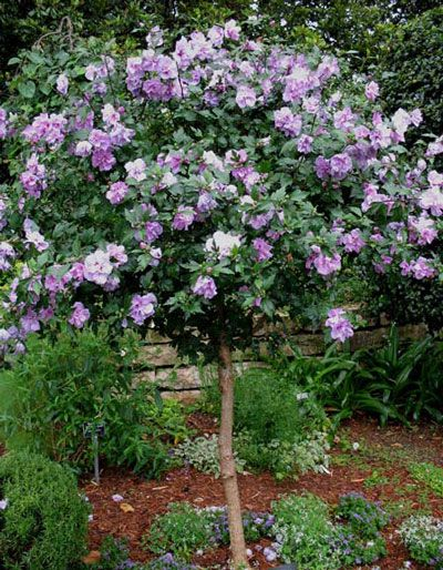 Lavender Rose of Sharon Althea Tree