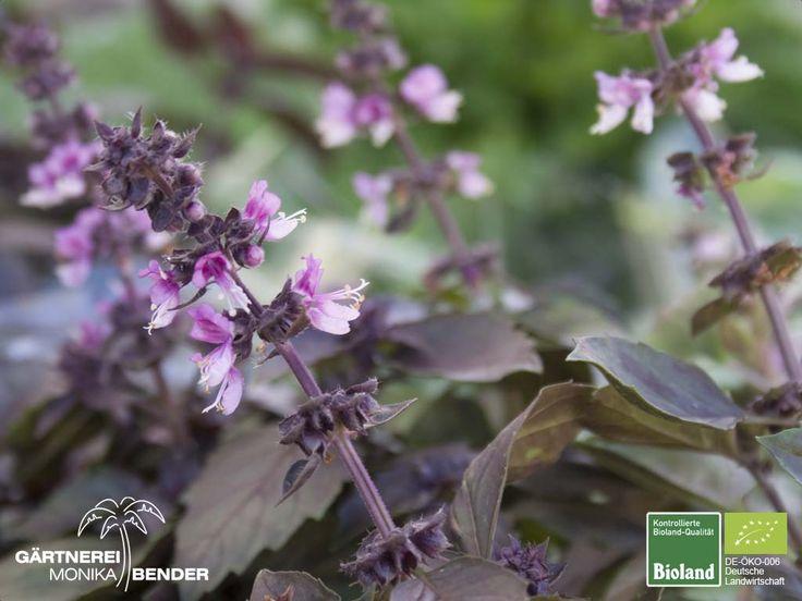 Ocimum - Basilikum Pflanzen in Bioland-Qualität