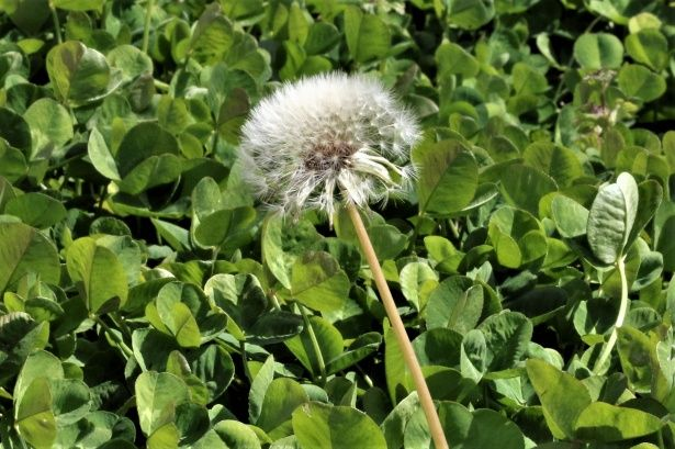 Free Image Of Dandelion Seed Head Close Up By Sheila Brown In 2020 Dandelion Seed Dandelion Free Stock Photos