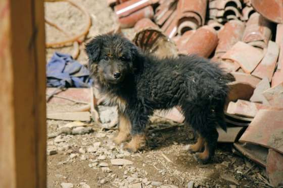 Average Puppy Price: $3,000*Note: The astronomical price for the dog mentioned in the intro is an an... - https://flic.kr/p/efQY6k. Originally uploaded by user Ruuui on Flickr. CC BY-ND 2.0 (https://creativ... Tibetan Mastiff