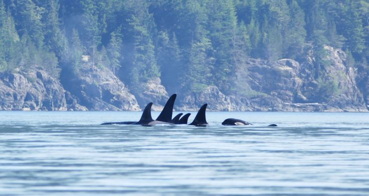 Expanding our understanding and appreciation for killer whales (orca).