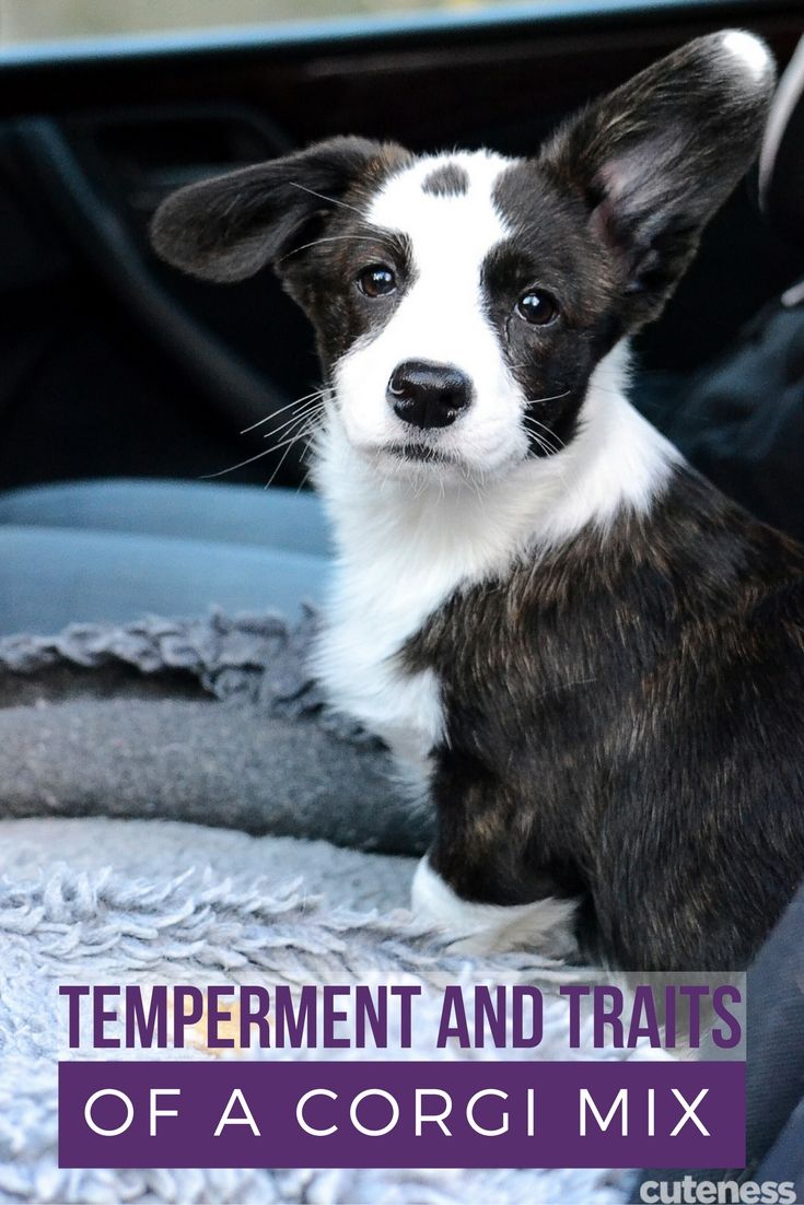 Thinking about getting a corgi mix? Here's the 411 on what to expect from this super popular dog breed.