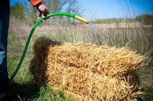 Watering the Straw Bale