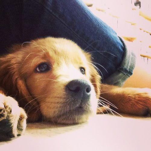 golden retriever puppy http://www.pinterest.com/gabrielzanetti/d-o-g-s/