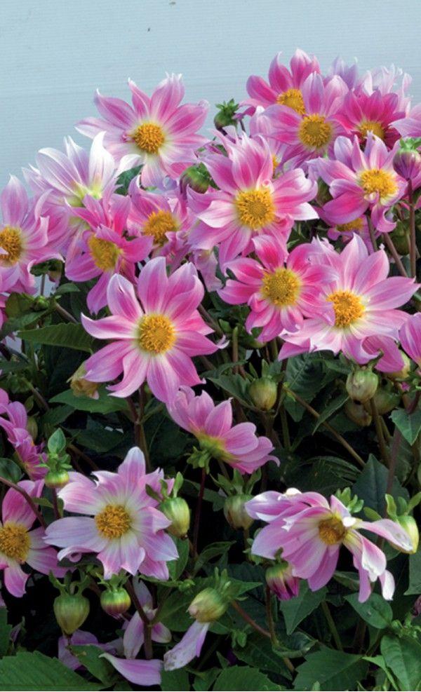 167 best dahlia et zinnias images on pinterest | zinnias, dahlia