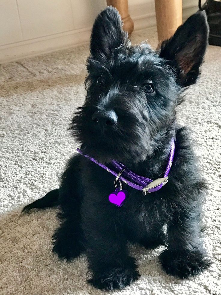 baby scottish terrier 11789 best scottie love images on pinterest 5436