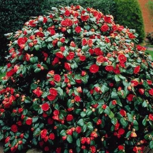 Маломерные кустарники, которые можно посадить на участке   Дачный сад и огород