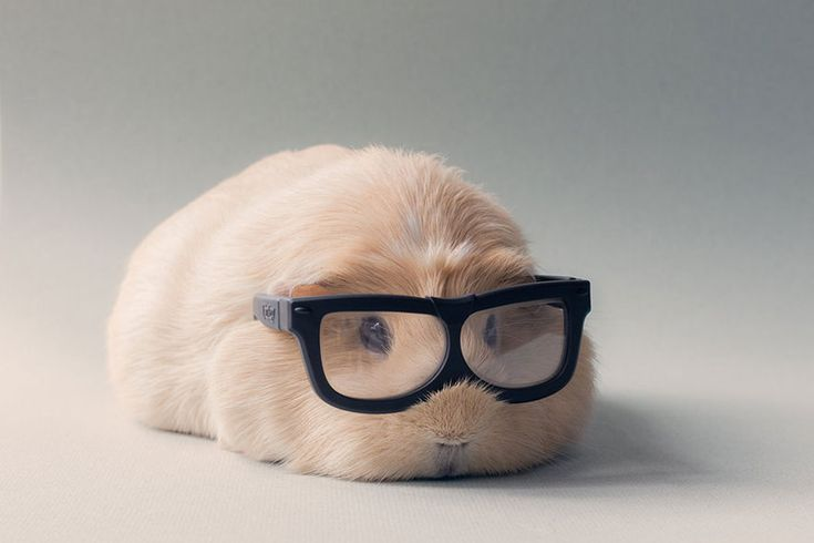 16 Pictures of The Cutest Guinea Pigs in this World. Here Are Booboo and His Best Friends Photo