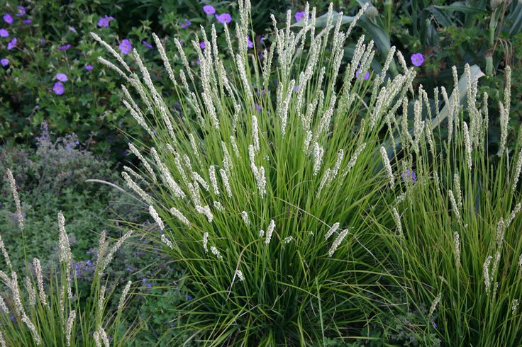 "Sesleria autumnalis (Autumn Moor Grass) - A very well behaved ornamental grass.  It has bright green leaves up to 18"" tall that are evergreen and retain their color well into January, or longer in mild winters, before fading to tan until spring.  In late August and lasting through fall, it has little 6"" tan flower spikes. Great for filling out flower beds and drought tolerant enough to be planted among tree and shrub roots.  Zones 4b and warmer."