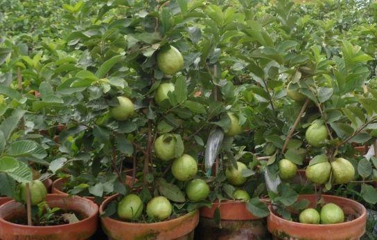 Guava Growing In Pots Garden Pinterest Gardens
