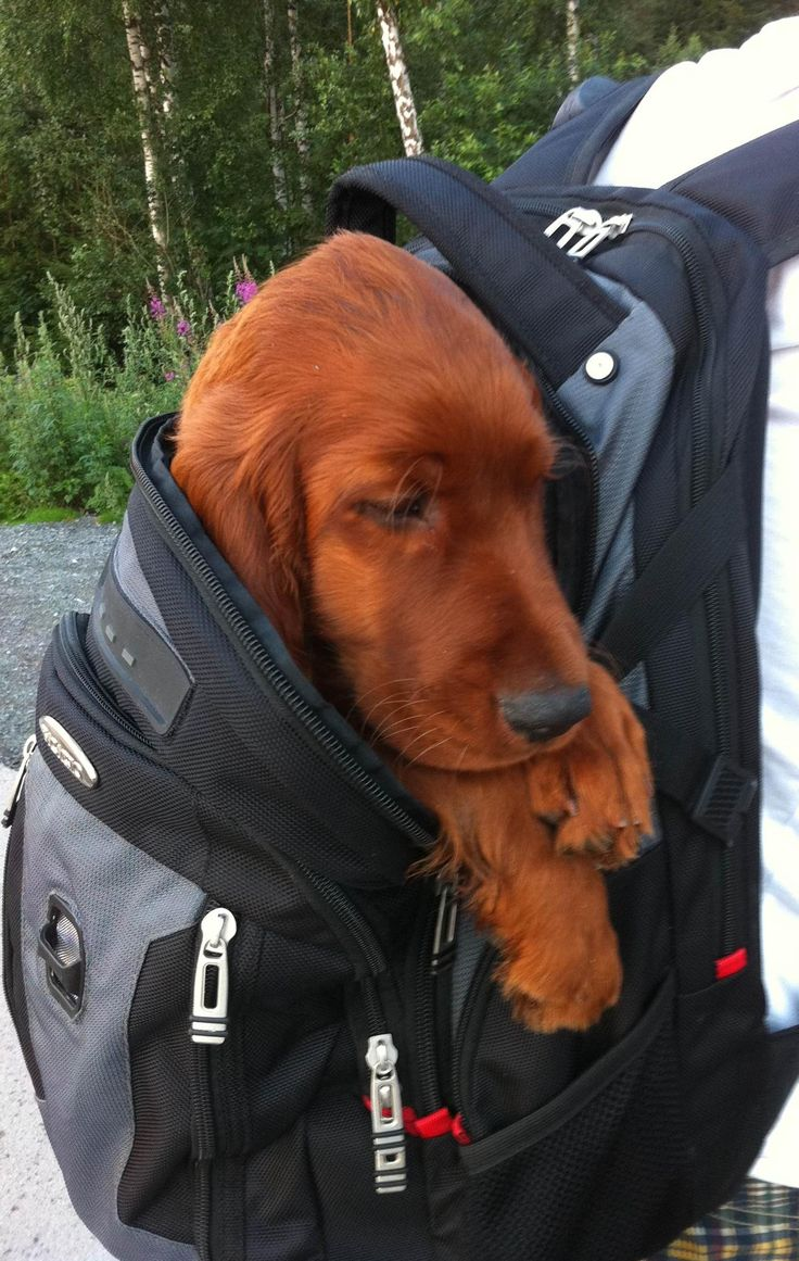 First, this is not a small (breed) dog. This is an Irish Setter pup and very difficult to tire out. Congratulations OP! We had to read Old English for one of my College English courses. I  ...