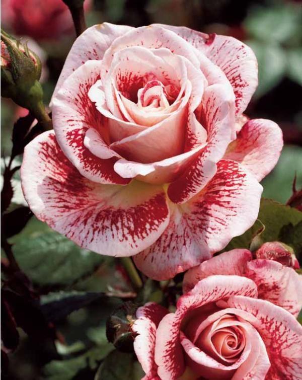 FAMOSA De grosses fleurs très parfumées aux pétales bicolores. Chaque année, ses fleurs seront les reines de vos bouquets d'été. Vous profiterez également de son parfum. hauteur adulte : 70-90 cm.