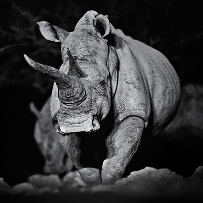 rhino | david yarrow photography
