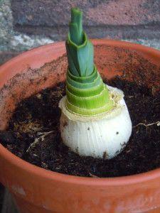 Recycle groenten voor een nieuwe plant | Recycle vegetables for a new plant #prei