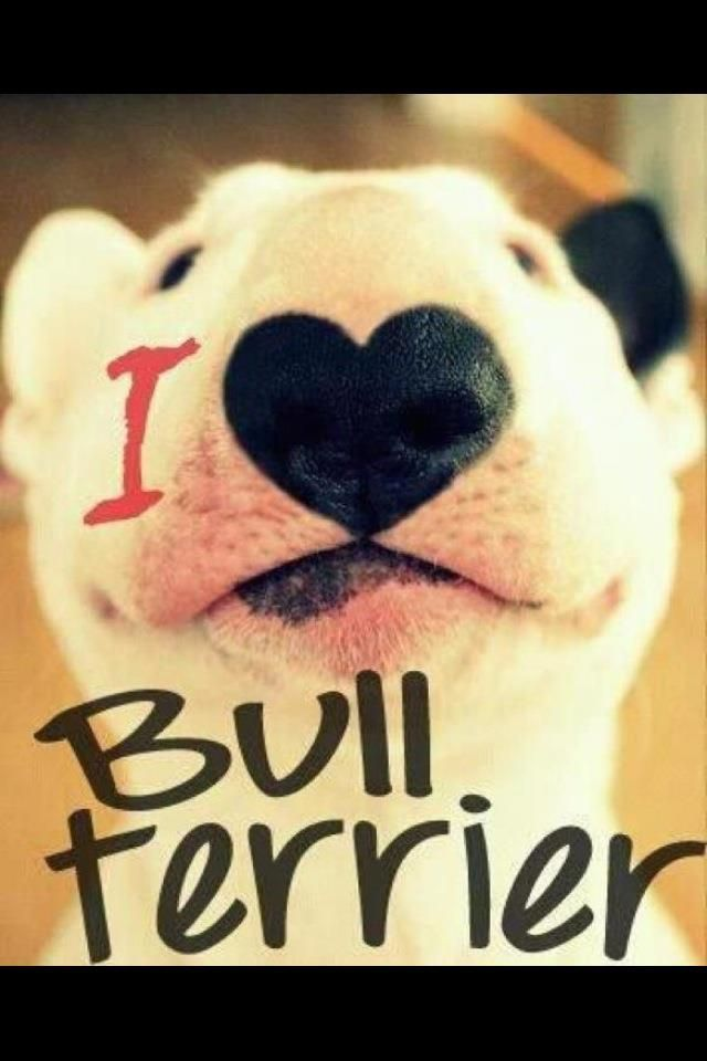 I LOVE MY BULL TERRIERS. <3 ALL  5. LILLY,  LUCKY,  SPOT,  PRINCESS,  AND CHAOS