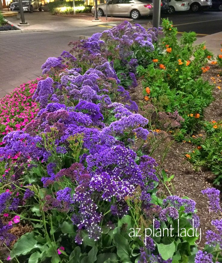 Perfect Easy Garden Plants Drought Tolerant And Beautiful Sea Lavender Limonium Perezii For Inspiration Decorating