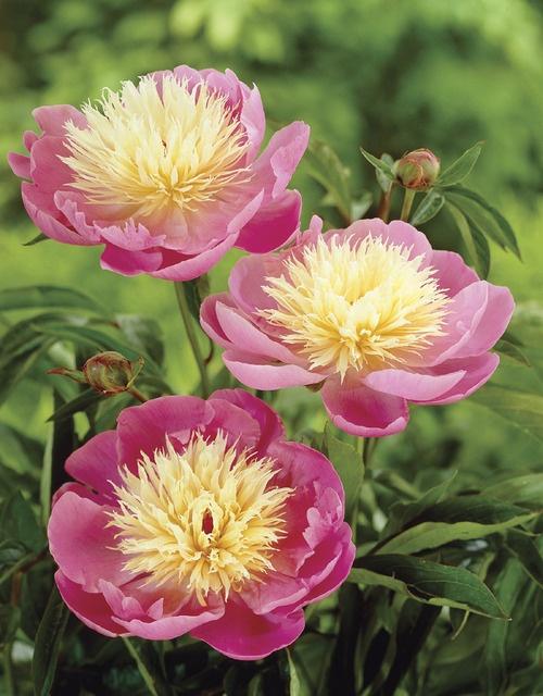 In my garden love it. Bowl of Beauty Double Peony